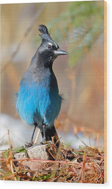 Rocky Mountain Steller's Jay Wood Print