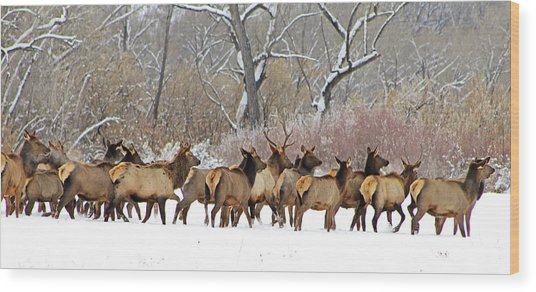 Rocky Mountain Winter Elk Wood Print