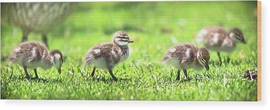 Rogue Duckling, Yanchep National Park Wood Print