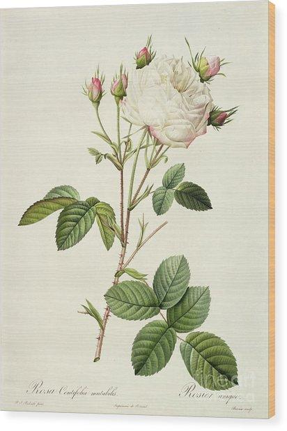 Rosa Centifolia Mutabilis Wood Print