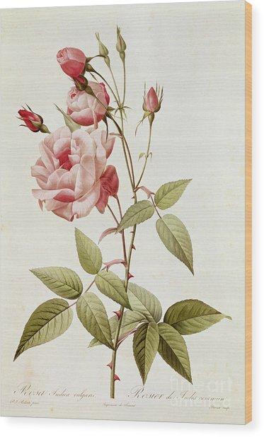 Rosa Indica Vulgaris Wood Print