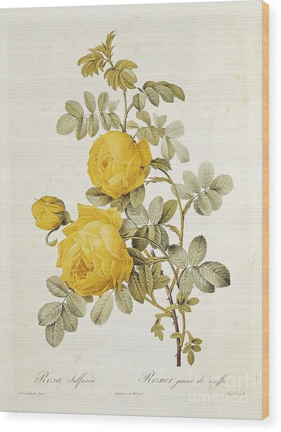 Rosa Sulfurea Wood Print