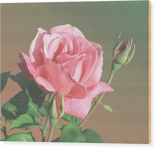 Rose And Two Buds Wood Print by Wilbur Young