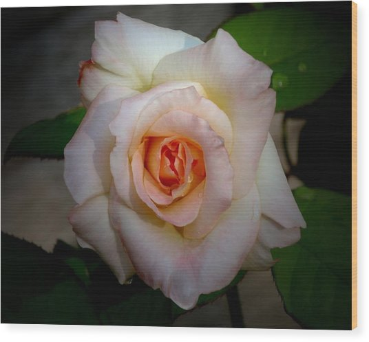 Rose Blushing After Rain Wood Print by B Nelson