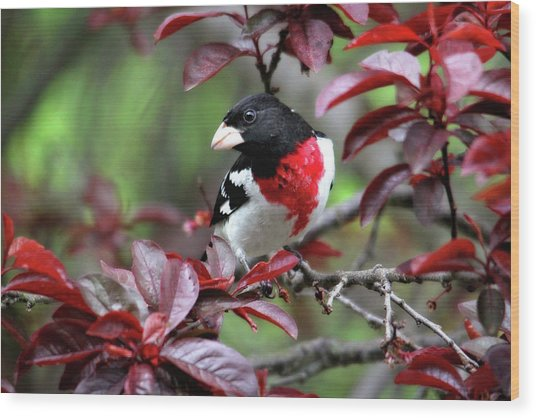 Rose-breasted Grosbeak Wood Print
