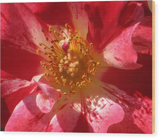 Rose In Pink Wood Print by Alfred Ng