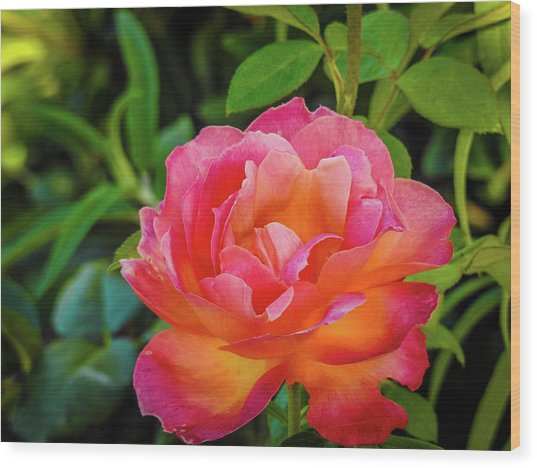 Rose In The Evening Wood Print
