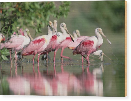 Wood Print featuring the photograph Roseate Spoonbill Flock Wading In Pond by Tim Fitzharris