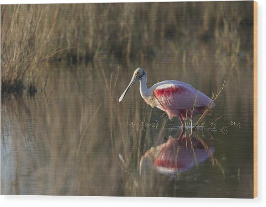 Roseate Spoonbill In Morning Light Wood Print