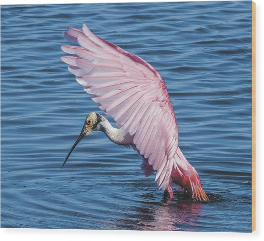Roseate Spoonbill Profile With Wings Over Her Head Wood Print