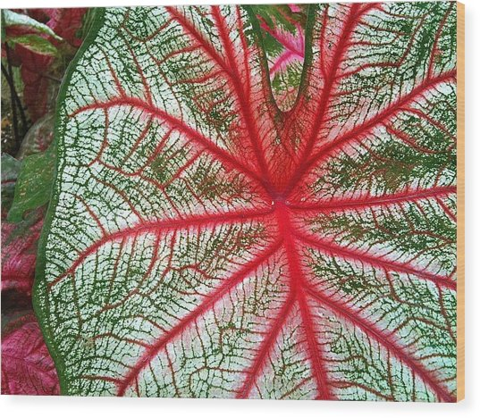 Rosebud Caladiums.2 Wood Print by Mpagijk Mpagijk