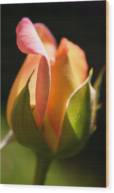 Rosebud Wood Print by PIXELS  XPOSED Ralph A Ledergerber Photography