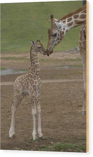 Rothschild Giraffe Giraffa Wood Print