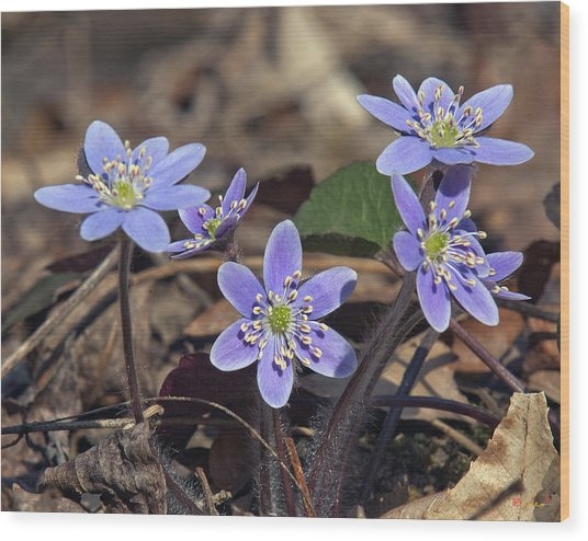 Round-lobed Hepatica Dspf116 Wood Print