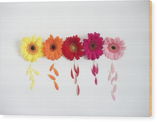 Row Of Gerbera Daisies On White Background Wood Print