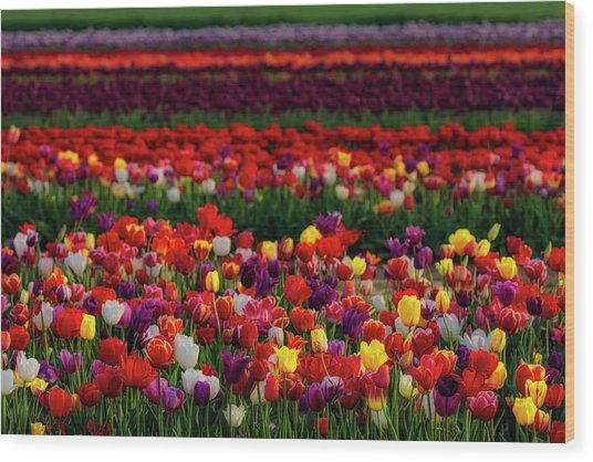 Wood Print featuring the photograph Rows Of Tulips by Susan Candelario