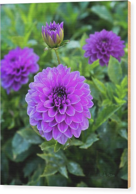 Royal Dahlia Delight Wood Print