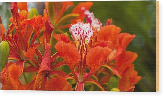 Wood Print featuring the photograph Royal Poinciana by Ed Gleichman