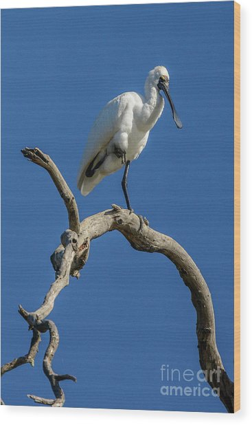 Royal Spoonbill 01 Wood Print