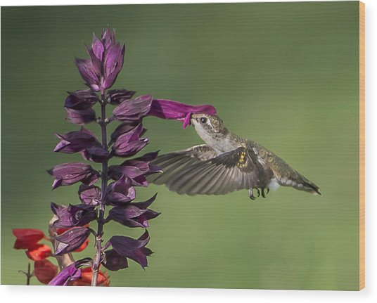 Ruby Throated Hummingbird At Purple Salvia Flower Wood Print
