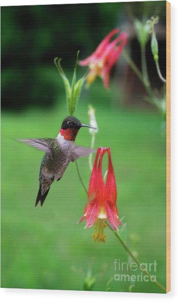 Ruby-throated Hummingbird  Looking For Food Wood Print