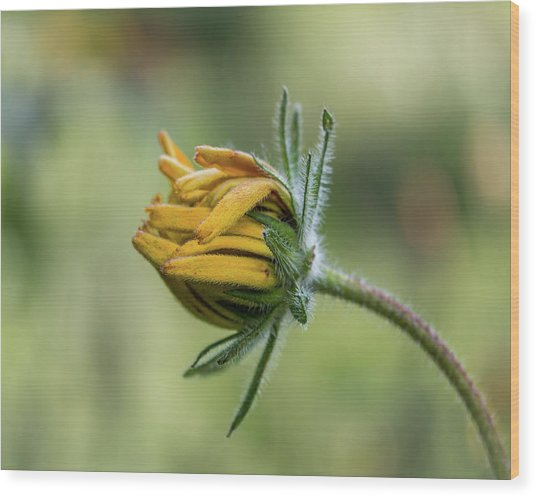 Wood Print featuring the photograph Rudbeckia Fuzzy Bud by Patti Deters