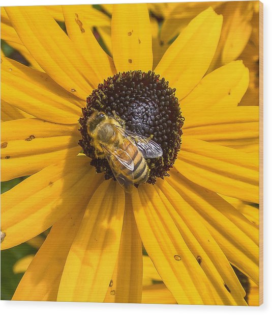 Rudbeckia With Bee Wood Print
