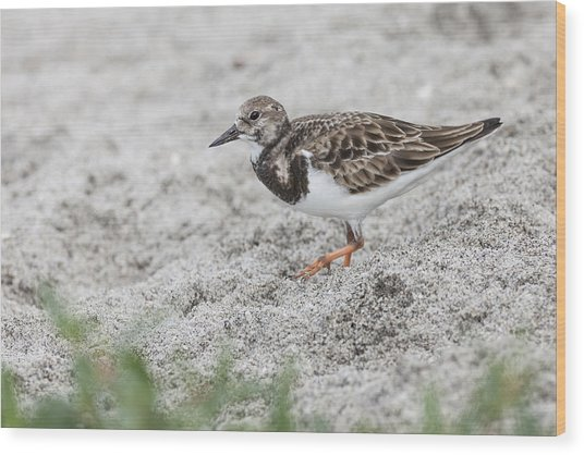 Ruddy Turnstone Foraging On The Beach Wood Print