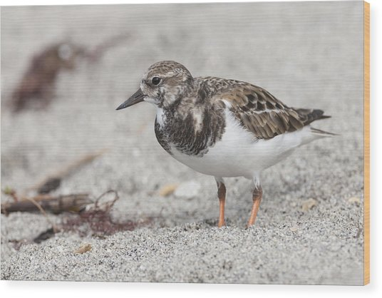 Ruddy Turnstone On The Beach Wood Print