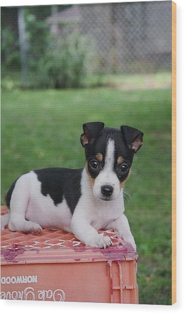 Rudy The Rat Terrier Wood Print by Rebecca Poole