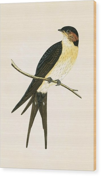 Rufous Swallow Wood Print