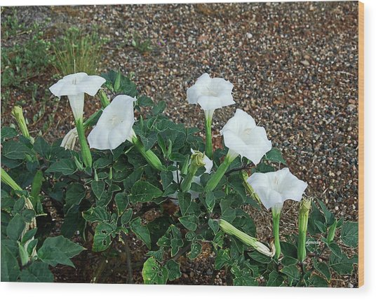 Sacred Datura 2278 Wood Print by David Mosby