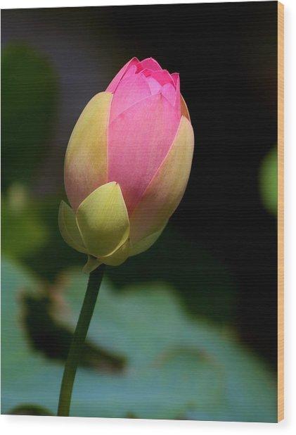 Sacred Lotus Bud 3 Wood Print