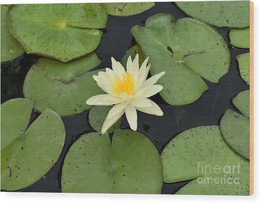 Sacred Lotus Wood Print