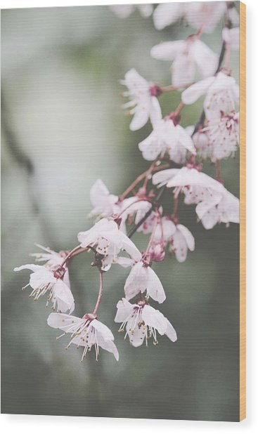 Sakura #278 Wood Print