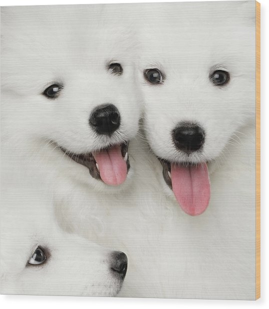 Samoyed Puppies Wood Print