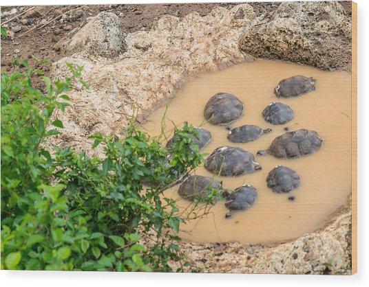 San Cristobal 2-year Old Tortoises Wood Print by Harry Strharsky