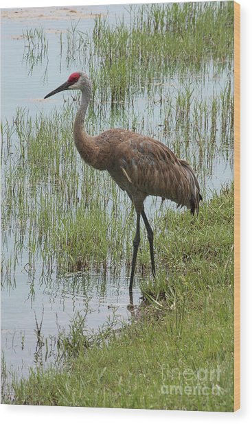 Sandhill In The Marsh Wood Print