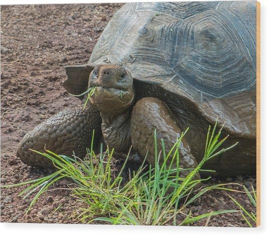 Santa Cruz Tortoise Grass Feast Wood Print by Harry Strharsky