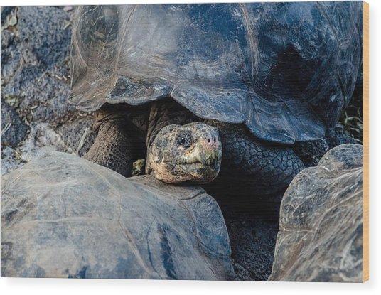 Santa Cruz Tortoise Wood Print by Harry Strharsky