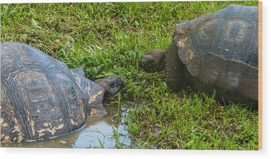 Santa Cruz Tortoise Meeting Wood Print by Harry Strharsky