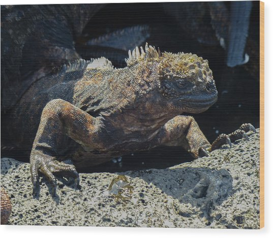 Santiago Marine Iguana Wood Print by Harry Strharsky