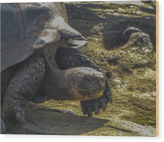 Santiago Tortoise Wood Print by Harry Strharsky