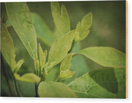 Sassafras Tree Wood Print