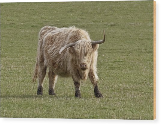 Sauvie Island Cow Wood Print