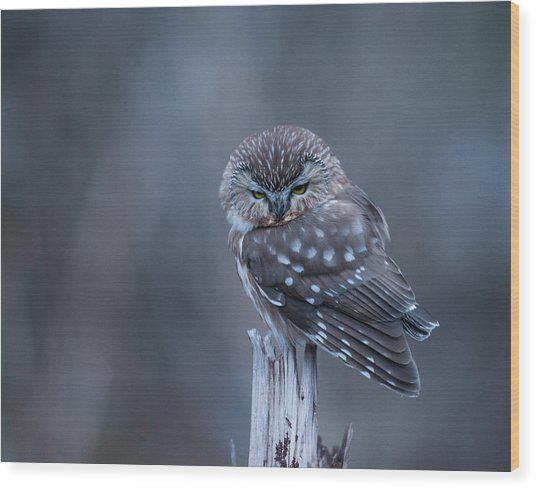 Saw-whet Owl Wood Print