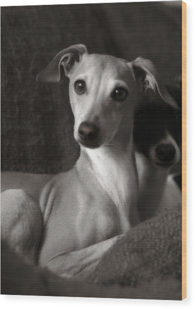 Say What Italian Greyhound Wood Print