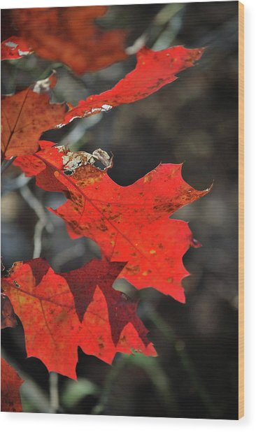 Scarlet Autumn Wood Print