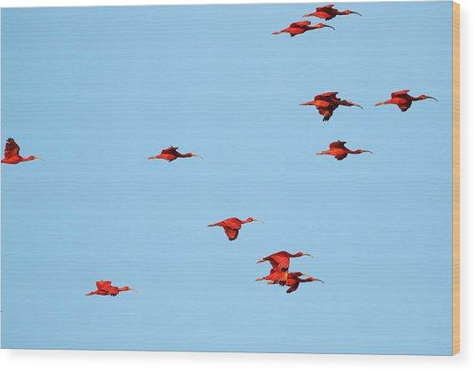 Scarlet Ibis At Caroni Swamp Wood Print