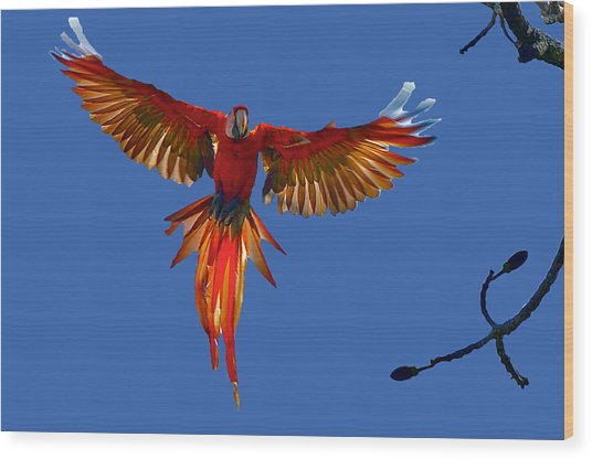 Scarlet Macaw On The Osa Peninsula Wood Print